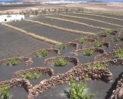 Cultivos en Lanzarote