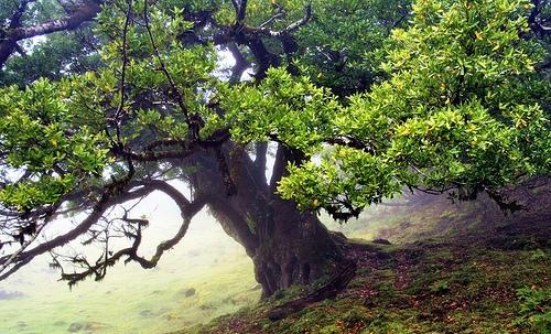 >>>>árboles Sagrados<<<< Ocotea-foetens