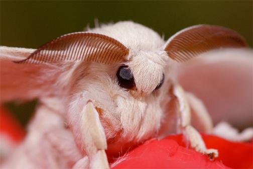 Mariposa de la Seda