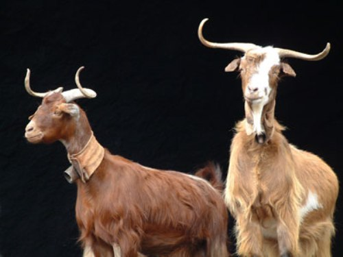 El queso de cabra de Garafia