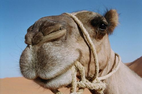 Camello en Canarias