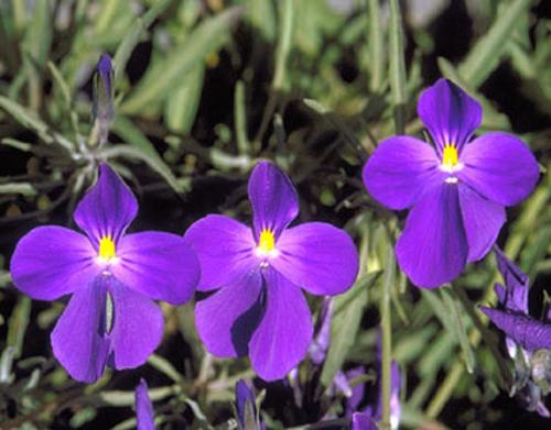 Viola palmensis (pensamiento de las cumbres)